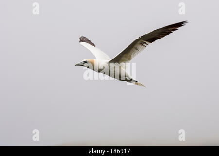 CAPE ST MARY'S ECOLOGICAL RESERVE, SAINT BRIDE'S, NEWFOUNDLAND, CANADA - August 14, 2018: A northern gannet bird at Cape St Mary's Ecological Reserve. - Stock Image