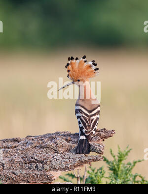 Eurasian Hoopoe (Upupa epops) perching on a branch with raised crest, Hungary - Stock Image