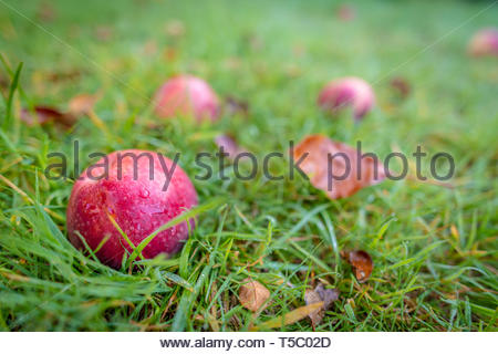 An apple on the ground in an orchard - Stock Image