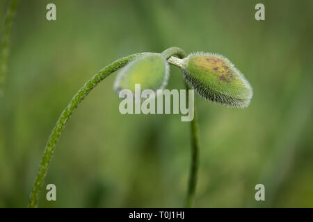 Papaver bracteatum know as Iranian or Persian poppy green flower buds at Kew Botanical Gardens in London, UK - Stock Image