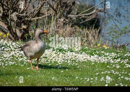 Greylag goose (anser anser) walking amongst spring time daisy wild flowers - Stock Image