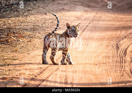 Cute little wild Bengal Tiger Cub, Panthera tigris tigris, standing in a dirt road, Bandhavgarh Tiger Reserve, Madhya Pradesh, India - Stock Image