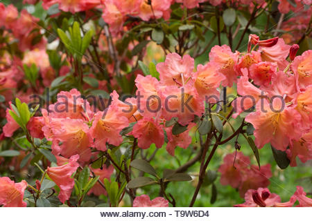 Rhododendron 'September Song' flowers. - Stock Image