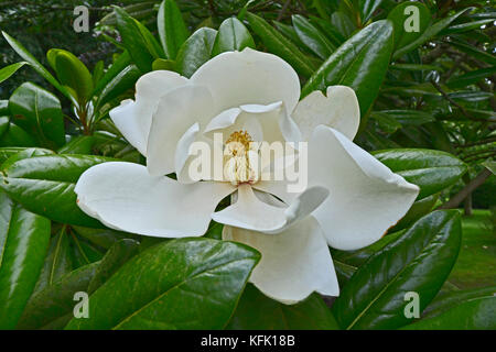 Close up of Magnolia grandiflora with impressive flower - Stock Image