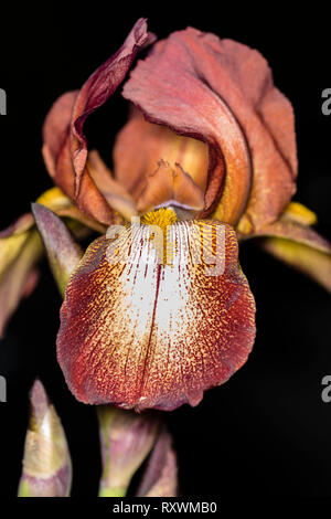 Close-up of a bronze bearded iris flower with a dark background. - Stock Image