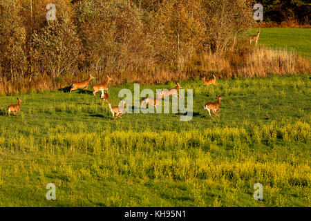 Several white-tailed deer on the run near Sussex, Kings County, New Brunswick, Canada. - Stock Image