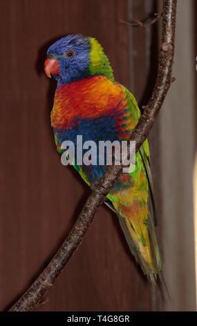 Swainsons/Rainbow Lorikeet (trichoglossus moluccanus) - Stock Image