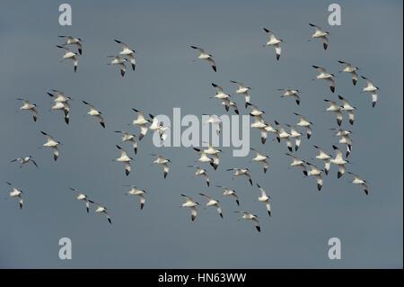Flock of pied avocets (Recurvirostra avosetta) in flight. Norfolk, England. March. - Stock Image