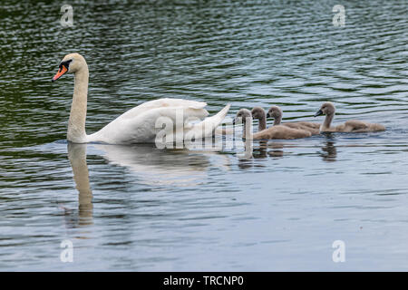 Adult mute swan (cygnus olor) with young cygnets swimming on still calm lake with reflection - Stock Image