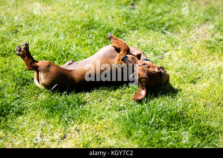 dachshund in garden rolling on back - Stock Image