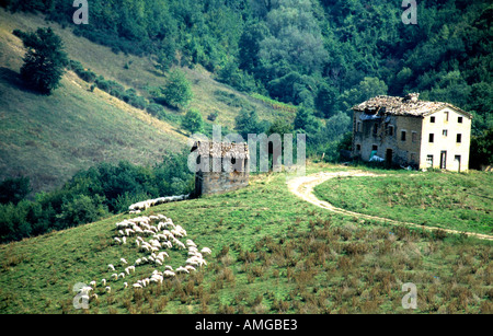 sheep grazing near a farmhouse outside Amandola in le Marche ,the Marches, Italy - Stock Image