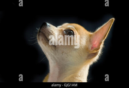 Male Chihuahua profile head shot. - Stock Image
