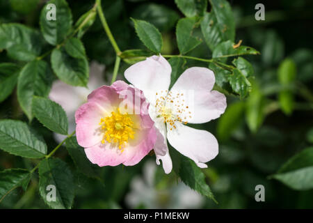 young and old dog roses - Stock Image