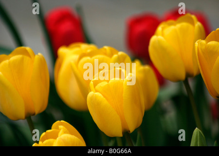 Horizontal shot of some red and yellow tulips. - Stock Image