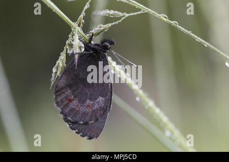 Large Ringlet (Erebia euryale) - Stock Image
