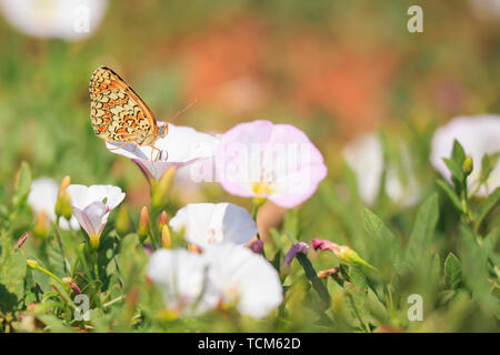 Closeup of a knapweed fritillary, Melitaea phoebe, butterfly resting and pollinating in bright sunlight. - Stock Image