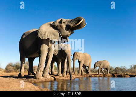 Small group of African elephants (Loxodonta africana) drinking at watering hole, Mashatu game reserve, Botswana, Africa - Stock Image