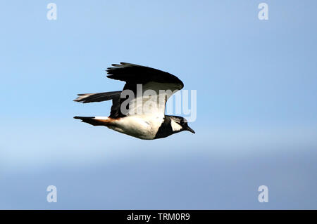 A Lapwing in flight - Stock Image