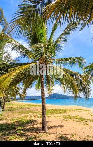 Ipomoea pes-caprae, also known as bayhops, beach morning glory or goat's foot on Mai Khao beach, phuket, Thailand - Stock Image