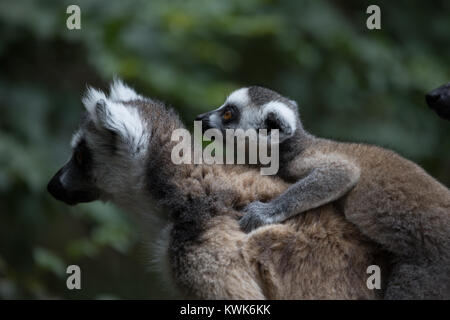 Baby Madagascar ring-tailed lemur (Lemur catta) on mothers back from the Monkeyland Sanctuary in Plettenberg Bay, - Stock Image