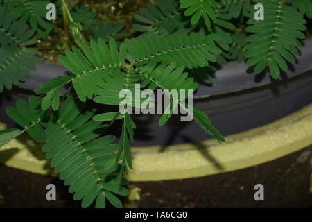 after touching the individual leaves move of the action or zombie plant, sensitive mimosa pudica or sleepy plant or dormilones or zombie plant with co - Stock Image