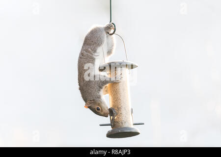 Stirlingshire, Scotland, UK - 14 December 2018: a tailless grey squirrel still manages to balance and cling on to a bird feeder in a Stirlingshire garden Credit: Kay Roxby/Alamy Live News - Stock Image