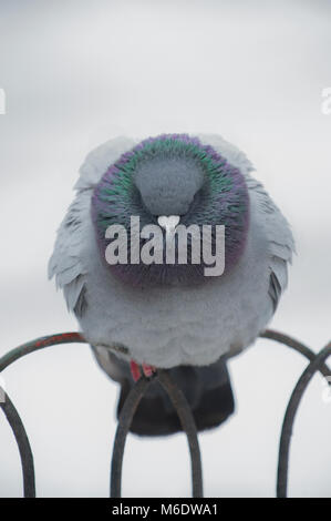 Feral Pigeon, (Columba livia domestica), perched on railings in winter snow, Regents Park, London, United Kingdom - Stock Image