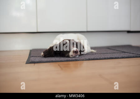 A English springer spaniel puppy lays on the floor on a kitchen mat in a sulk. - Stock Image
