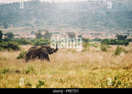 An African landscape scene as a solitary female African elephant (loxodonta africana) walks through a grassy savanna with her trunk up in the air. - Stock Image