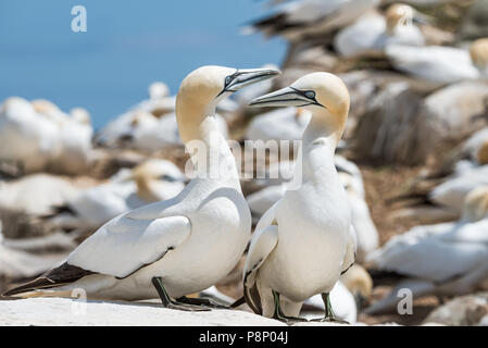 Gannet Colony on Saltee Island at County Wexford - Ireland - Stock Image