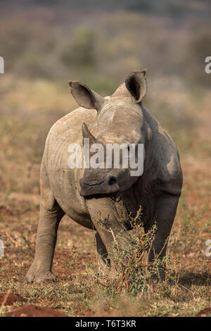 White rhino (Ceratotherium simum) calf, iMfolozi game reserve, KwaZulu-Natal, South Africa, September 2018 - Stock Image