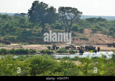Herd of elephants (as many as 52 counted ) crossing a low water crossing on the Lower Sabie river Kruger Park South - Stock Image
