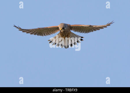 Detailed close-up front view of wild, British, kestrel bird of prey (Falco tinnunculus) isolated, hovering up high in the air with blue sky background. - Stock Image