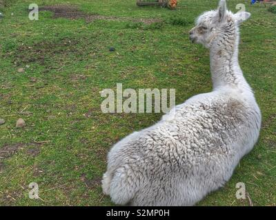 Alpaca - Stock Image