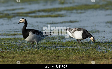 Barnacle Geese in Wetland Habitat - Stock Image