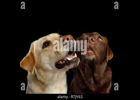 Closeup Portrait of Labrador retriever dogs Staring up and sniffing on isolated black background - Stock Image