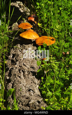 Fallen cork tree log in a green weeds field with yellow golden saprotrophic mushrooms (Gymnopilus suberis) growing from its crevices. Arrabida mountai - Stock Image