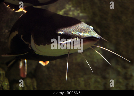Redtailed or Redtail Catfish, Phractocephalus hemioliopterus, Pimelodidae.  Also Known as Flat-nosed Catfish or - Stock Image