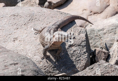 Close-up of Gran Canaria giant lizard, Gallotia stehlini. It is endemic to Gran Canaria, in the Canary Islands, Spain. Photo taken in Maspalomas - Stock Image