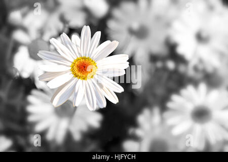 Single daisy flower with a black and white background, hope concept - Stock Image