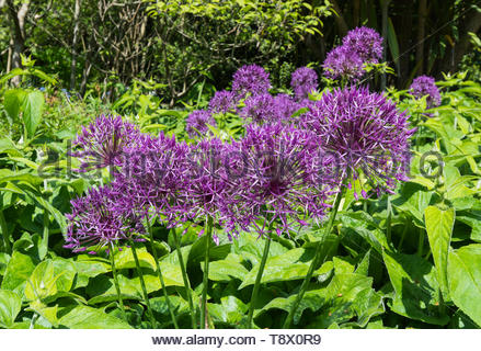 Flower blossom ball from a purple Allium, also known as Ornamental Onion, growing in Spring (May) in West Sussex, England, UK. - Stock Image