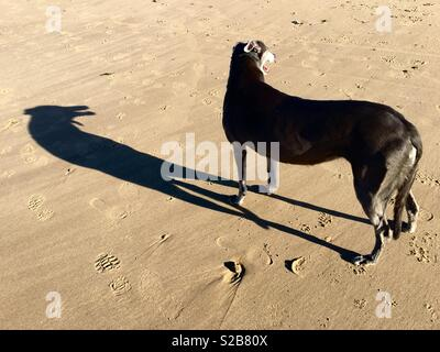 A greyhound casts a long shadow on a beach. - Stock Image