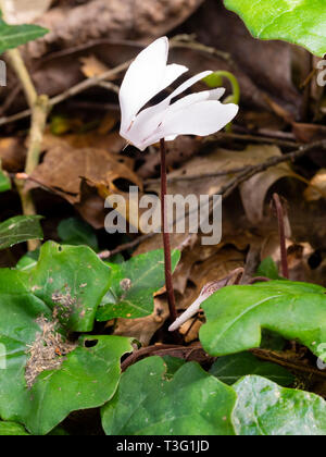 Rare white form of the spring flowering sowbread, Cyclamen repandum, on a woodland floor - Stock Image