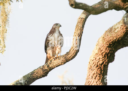 A red-tailed hawk hunting from a live oak tree along the coast of Alabama, USA. - Stock Image