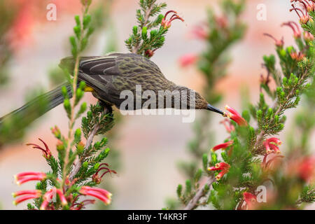 Male Cape sugarbird, Promerops cafer, sitting on a flower sucking nectar, Western cape, South Africa - Stock Image