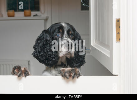 springer spaniel, male adult aged 10, jumping up at interior stable door - Stock Image