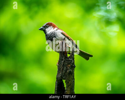 house sparrow ,Passer domesticus is a bird of the sparrow family Passeridae - Stock Image