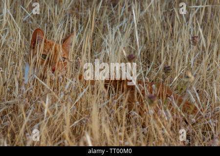 adult domestic cat lying and hiding in dried plants. suitable for animal, pet and wildlife themes - Stock Image