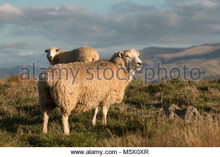 Two sheep on high country pasture at sunset, Canterbury, New Zealand - Stock Image