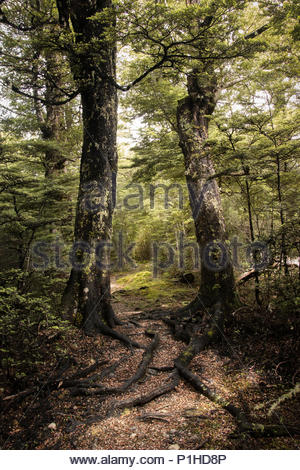 Wooded Gully Track, mt.Thomas Conservation area, Canterbury, New Zealand - Stock Image